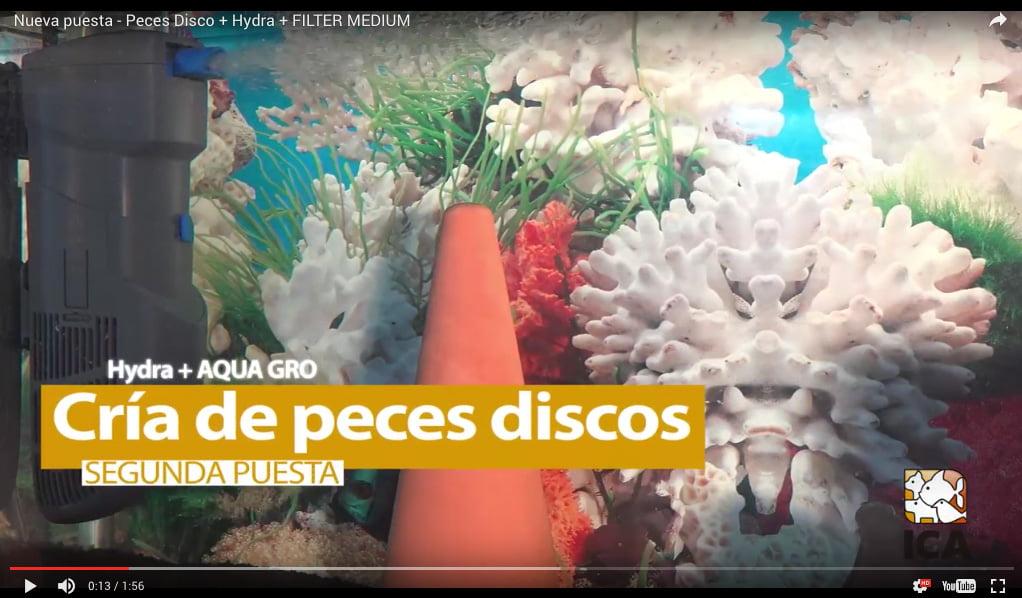 video_crias_disco_filtro_hydra_ica